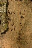 Gruppo di formiche che annidano nell'albero immagini stock