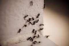 Gruppo di formiche del legno sulla parete Immagine Stock