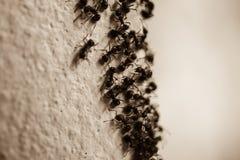 Gruppo di formiche del legno sulla parete Fotografia Stock Libera da Diritti