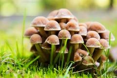 Gruppo di funghi commestibili naturali freschi nella foresta di autunno Fotografia Stock Libera da Diritti