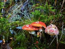 Gruppo di funghi di Muscarias dell'amanita Fotografia Stock Libera da Diritti