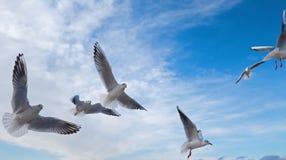 Gruppo di gabbiani di mare Fotografie Stock