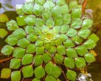 Gruppo di galleggiamento verde delle foglie Fotografia Stock