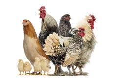 Gruppo di galline, galli e pulcini, isolati Fotografia Stock