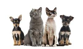 Gruppo di gatti e di cani che si siedono, isolato Fotografie Stock Libere da Diritti