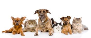Gruppo di gatti e di cani che si trovano nella parte anteriore esaminando macchina fotografica Immagini Stock