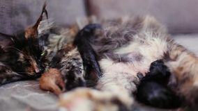 Gruppo di gatti e di gattino Maine Coon Poco colore rosso stock footage