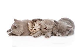 Gruppo di gattini britannici sonnolenti dello shorthair Isolato Immagine Stock