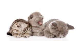 Gruppo di gattini britannici sonnolenti dello shorthair Isolato su bianco Fotografia Stock