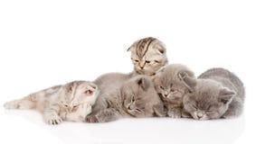 Gruppo di gattini britannici sonnolenti dello shorthair Isolato su bianco Fotografie Stock