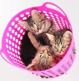 Gruppo di gattini in un canestro Fotografie Stock