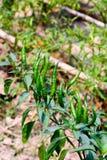 Gruppo di giovane pepe di Guinea caldo e piccante verde fresco, Fotografia Stock