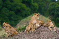 Gruppo di giovani leoni sulla collina Sosta nazionale kenya tanzania Masai Mara serengeti Immagini Stock