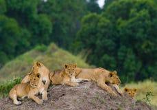 Gruppo di giovani leoni sulla collina Sosta nazionale kenya tanzania Masai Mara serengeti Fotografie Stock Libere da Diritti