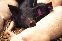 Gruppo di giovani maiali Fotografia Stock Libera da Diritti