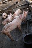 Gruppo di giovani maiali in azienda agricola locale, Tailandia immagine stock