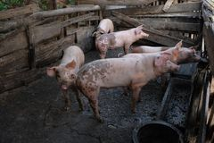Gruppo di giovani maiali in azienda agricola locale, Tailandia immagini stock libere da diritti