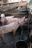 Gruppo di giovani maiali in azienda agricola locale, Tailandia fotografia stock libera da diritti