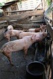Gruppo di giovani maiali in azienda agricola locale, Tailandia immagine stock libera da diritti