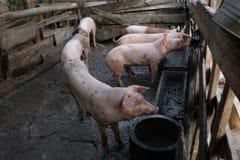 Gruppo di giovani maiali in azienda agricola locale, Tailandia fotografie stock libere da diritti