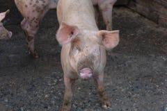Gruppo di giovani maiali in azienda agricola locale, Tailandia fotografie stock