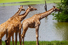 Gruppo di giraffe che mangiano erba, safari Fotografia Stock