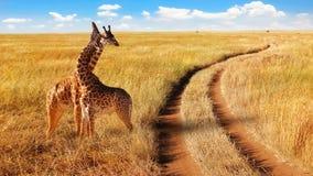 Gruppo di giraffe nel parco nazionale di Serengeti vicino alla strada Immagini Stock Libere da Diritti