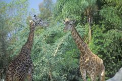Gruppo di giraffe, San Diego Zoo, CA, giraffa masai, Giraffa Camelolpardalis Fotografia Stock Libera da Diritti