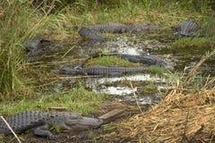 Gruppo di grandi alligatori nel parco nazionale dei terreni paludosi del ` s di Florida Immagine Stock Libera da Diritti