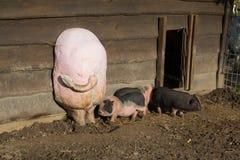 Gruppo di grandi maiali che mangiano fuori sul ranch Immagini Stock