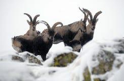 Gruppo di gredos maschii della montagna Immagini Stock