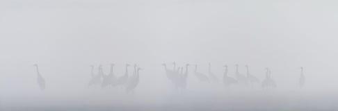 Gruppo di gru comuni in una palude nebbiosa Fotografia Stock Libera da Diritti