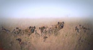 Gruppo di iene e di avvoltoi che mangiano il resti dell'animale nell'erba Fotografia Stock