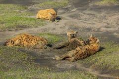 Gruppo di iene nel Serengeti Fotografia Stock