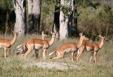 Gruppo di impala femminile Fotografia Stock