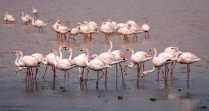 Gruppo di James Flamingo a Laguna Colorada & x28; Bolivia& x29; Immagine Stock Libera da Diritti