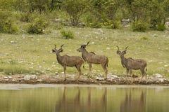 Gruppo di Kudu Immagine Stock Libera da Diritti
