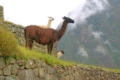 Gruppo di lama amichevoli a Machu Picchu Inca Ancient Citadel, Cusco, Urubamba, Perù immagine stock