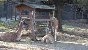 Gruppo di lama guanicoe del lama del guanaco degli animali stock footage