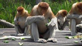 Gruppo di larvatus del Nasalis della nasica che mangia sulla piattaforma d'alimentazione animale endemico pericoloso del Borneo video d archivio