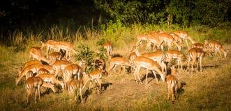 Gruppo di lechwes che pasce liberamente nella giungla Fotografia Stock