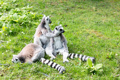 Gruppo di lemurs ring-tailed Immagine Stock