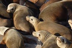 Gruppo di leoni di mare Immagine Stock