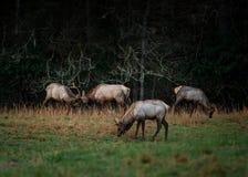 Gruppo di longarone degli alci del toro in primavera in anticipo Immagini Stock