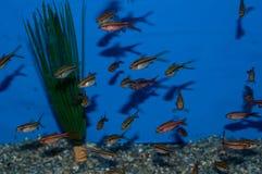 Gruppo di Longfin Cherry Barbs fotografia stock
