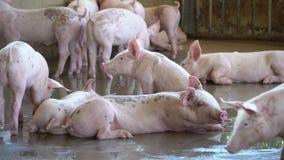 Gruppo di maiale che esamina sano nell'azienda agricola di maiale locale di ASEAN bestiame Il concetto di agricoltura standardizz stock footage