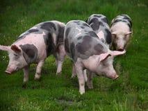 Gruppo di maiali che coltivano che alza allevamento nella scena rurale della fattoria degli animali Fotografie Stock Libere da Diritti