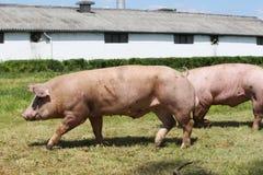 Gruppo di maiali che coltivano che alza allevamento nella fattoria degli animali Fotografia Stock Libera da Diritti