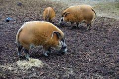 Gruppo di maiali del fiume Rosso nello zoo Fotografia Stock