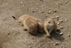 Gruppo di marmotta di prateria con coda nera - ludovicianus del Cynomys Fotografie Stock Libere da Diritti